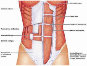core tva muscle